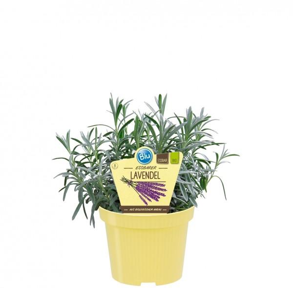 Bio Lavendel essbar