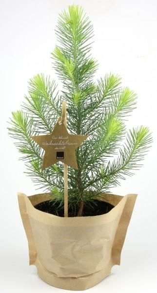 1 Bio Weihnachts-Pinie