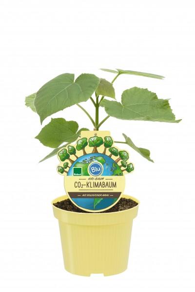 1 Bio Co2-Klimabaum Kiri