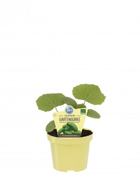 Bio Gartengurke Hexennase