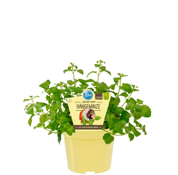 Bio Minze Hängeminze Indian Mint