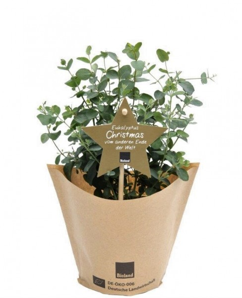 1 Bio Weihnachts-Eukalyptus 'Christmas'