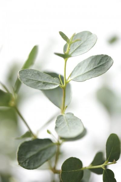 Bio Eukalyptus Enjoy