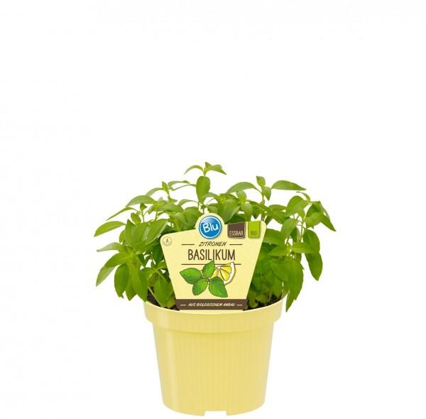 Bio Basilikum Zitronen-Basilikum